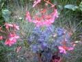 Geranium sp