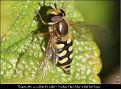 Eupeodes corollae female - Vanlig Markblomsterflue hunn