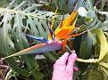 Bird of Paradise Flower in the Garden of Valhalla...