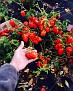 Nov 2nd. Cold and Windy.  Picking the last batch of Hot Peppers!!!  Still lots.  I thought that was the end 2 weeks ago!!!  More Honey & Heat Coming this Week!!! ♨️🔥💥