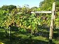 Grape Picking at Natali's Vineyard 10-21-09 (5)