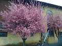 Flowering Cheery Trees at Muscle World...