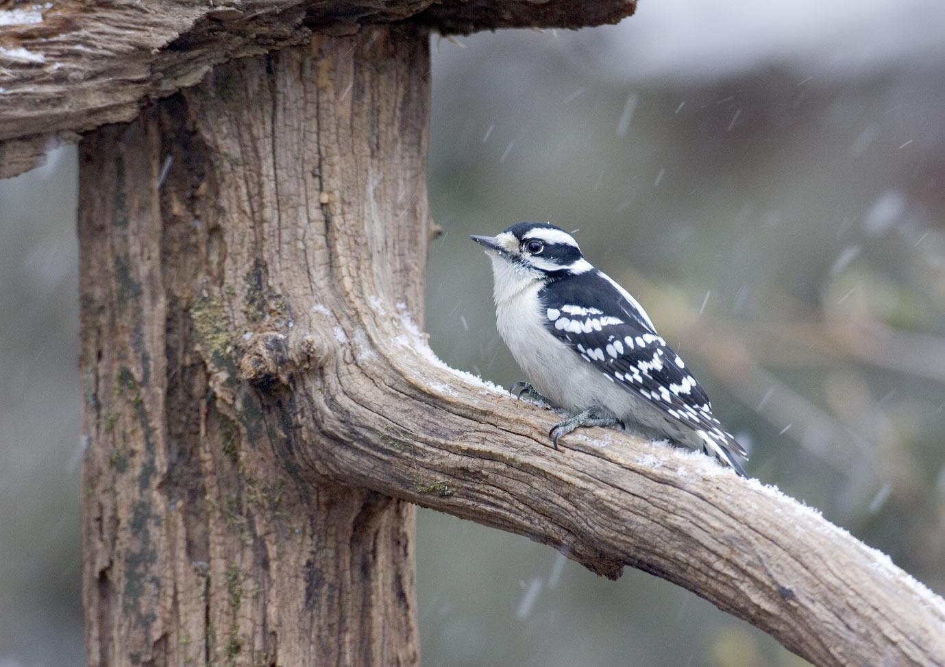 Photo: female downy woodpecker in snow 3355 | Backyard ...