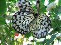 White Tree Nymph (Idea leuconoe)