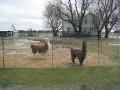 Llama Ranch