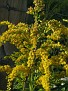 My photo of Goldenrod