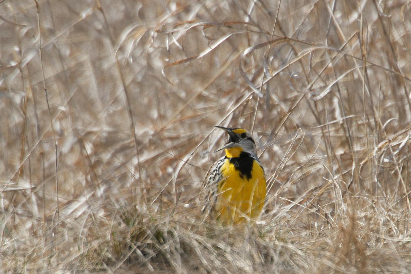Eastern Meadowlark #8