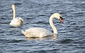 Spring Mute Swans #5