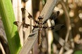 Common Whitetail Dragonfly 8