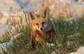 May Fox Series - 5/23 #19