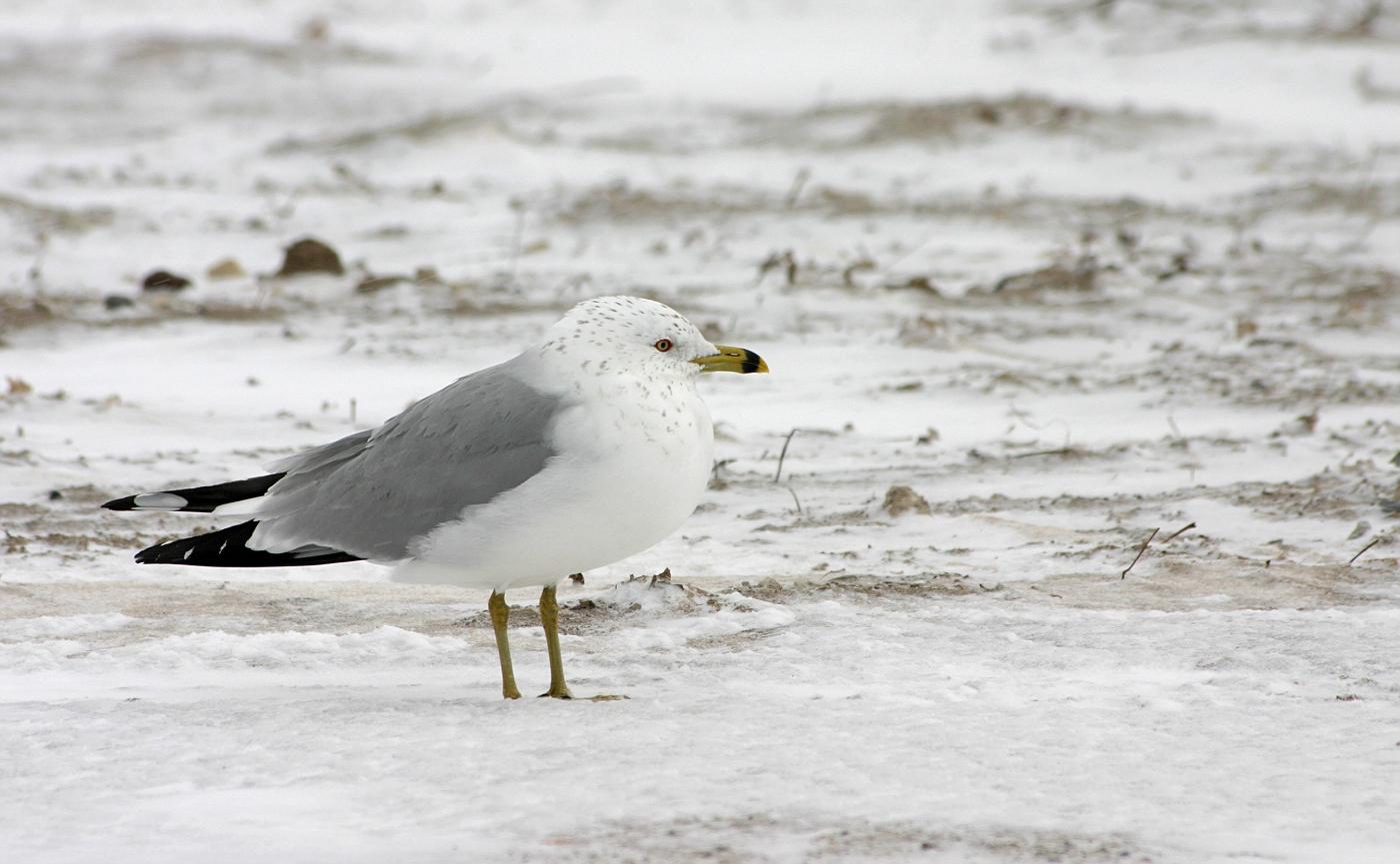 Ring-Billed Gull in Winter