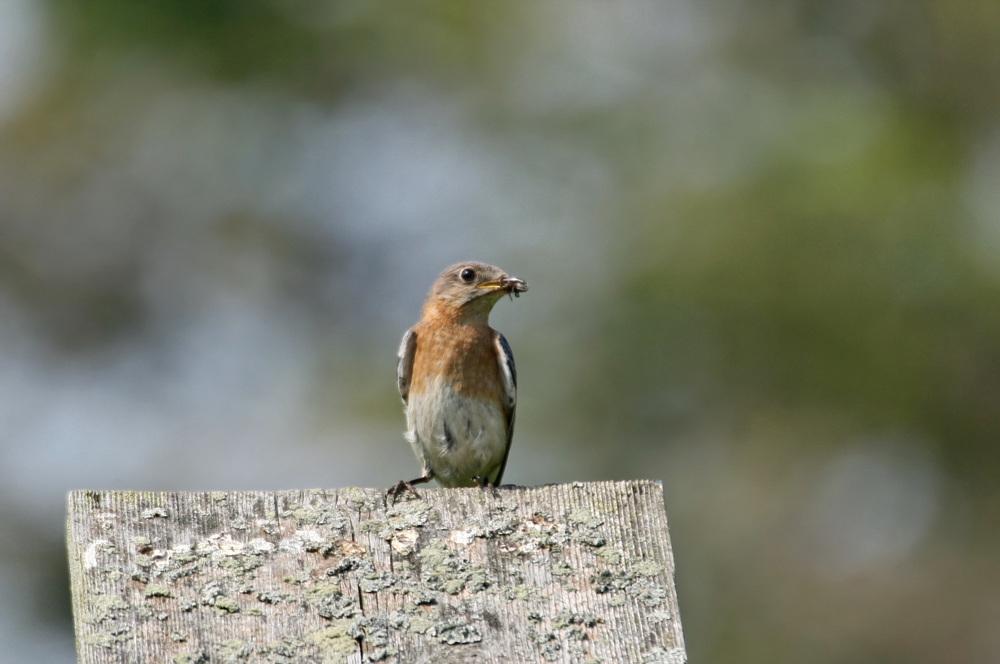 Female Bluebird #8