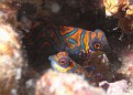 Mandarine Fish