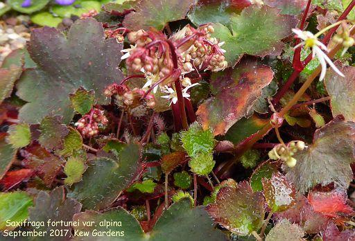 Saxifraga fortunei var. alpina