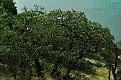 Карадагский дуб. Karadag Oak DSC 4852 156 4 1 m