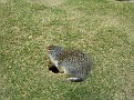 A Columbian Ground Squirrel