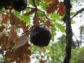 Andricus coriarius insect Quercus (1)