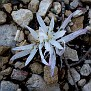 Colchicum atticum Merendera attica (11)