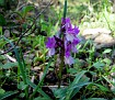 Dactylorhiza romana (9)