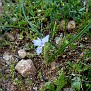 Moraea mediterranea, Gynandriris monophylla (6)