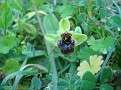 Ophrys (7)