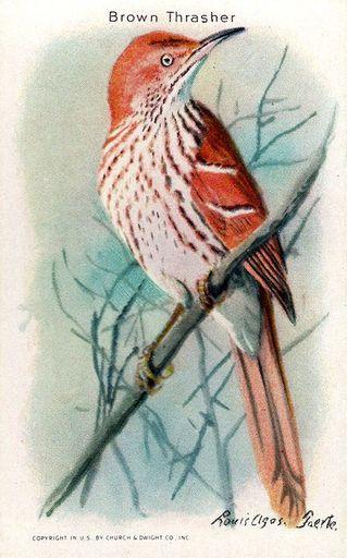 1938 Useful Birds of America Series 10 #09 (1)