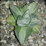 Agave potatorum 'Ouhi-Raijin' variegata  王妃雷神白中斑