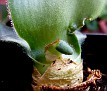 Haemanthus deformis -long leaf  (8)