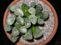 Haworthia maughanii Japan -m
