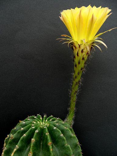 Echinopsis 'Green Gold'