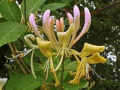 Lianenblüte