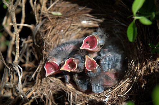 baby_sparrows.jpg