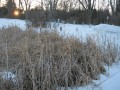 Cat-tails in winter