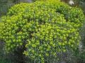 Euphorbia acanthothamnos (10)