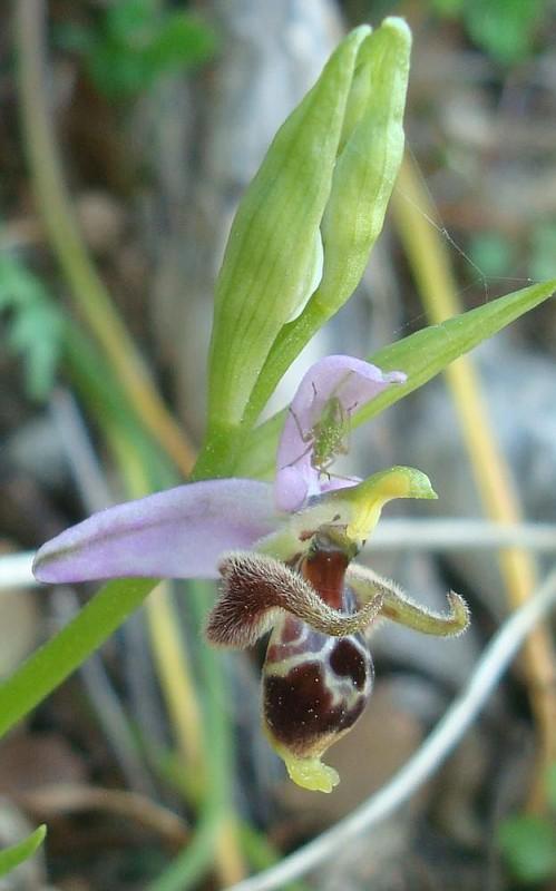 Στην σκιά της Ophrys (1)