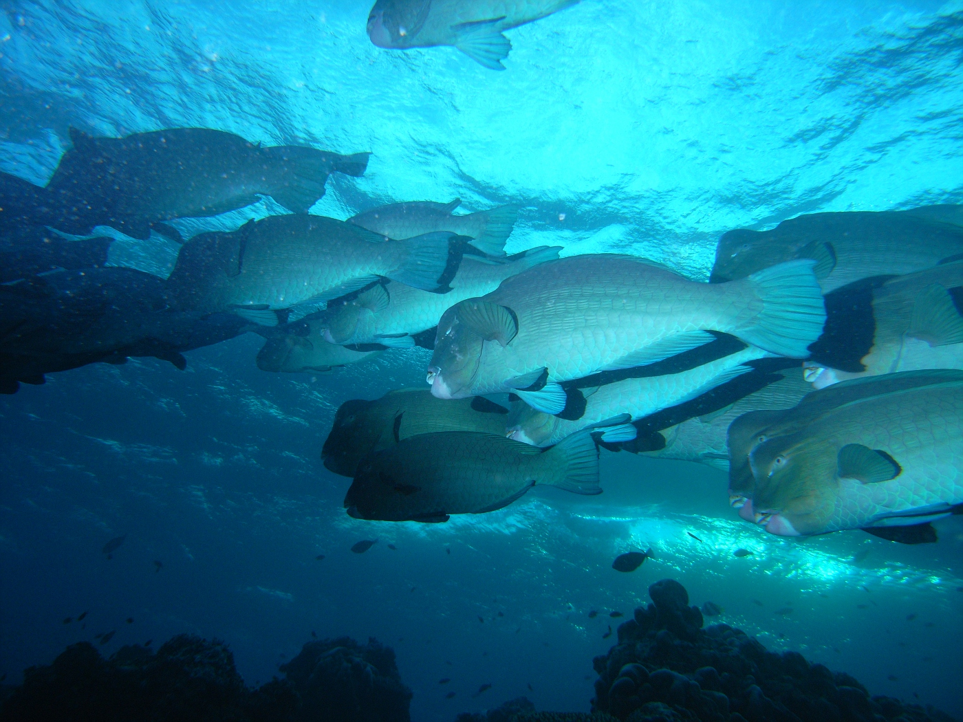 Giant Bumbhead Parrotfish