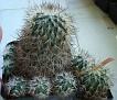 Turbinicarpus horipilus