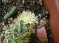 Mammillaria elongata 'Lemon'