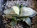 Gasteria cv  -variegate leaf-