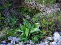 Himantoglossum robertianum (4)