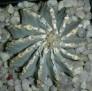 Geohintonia mexicana -b
