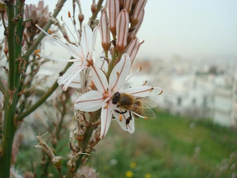 Asphodelus & bee (1)