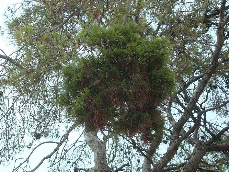 Σκούπα της μάγισσας - Ιογενή μετάλλαξη της τραχείας πεύκης -  Νεοπλασία των πεύκων (1)