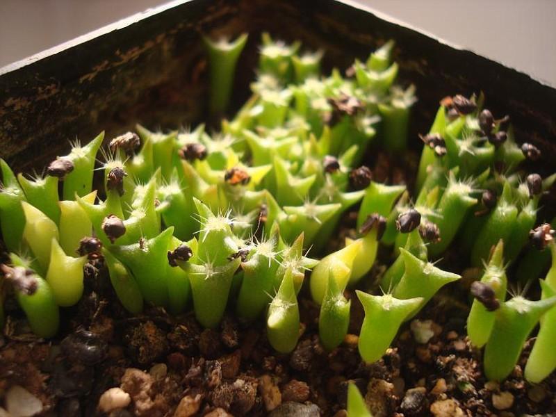 Ferocactus sp (1)