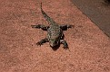 Lizard, Iguazu