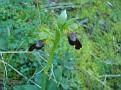Ophrys fusca ssp  cinereophila