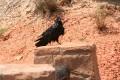 Ponderosa Point Raven