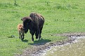 Bison and Calf #22