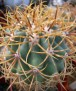 Ferocactus diguetii ssp. carmenensis